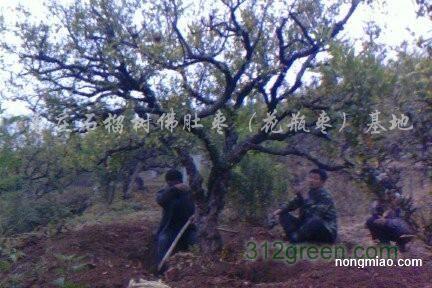 供应25公分石榴树