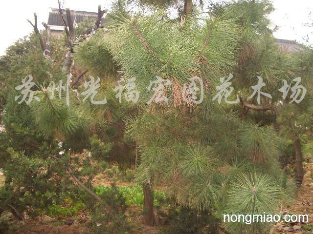 松树小孢子叶球纵切结构