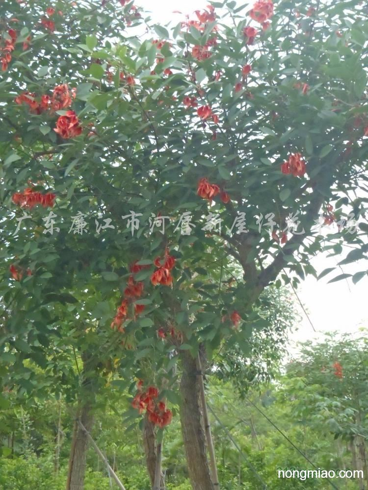泉州刺桐树图片