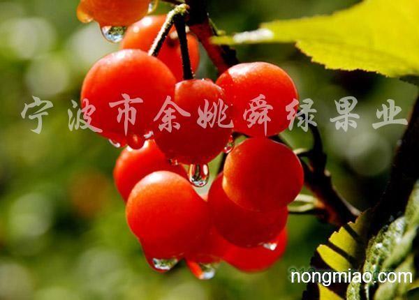 应2 8公分的樱桃树 品种有黑珍珠 黑甜一号图片