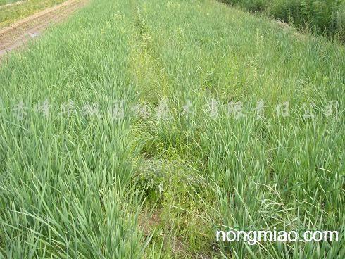 供应马莲|萱草图片及价格-大量供应赤峰绿化苗木