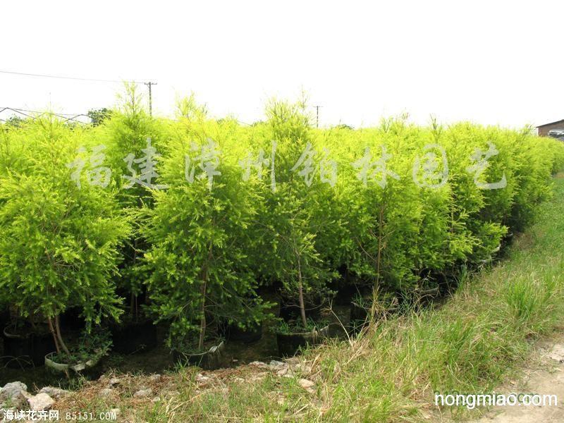 壁纸 成片种植 风景 灌木 绿化苗木 苗 苗木 树 植物 种植基地 桌面