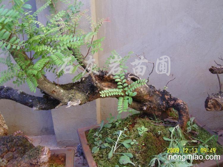 供应清香木盆景