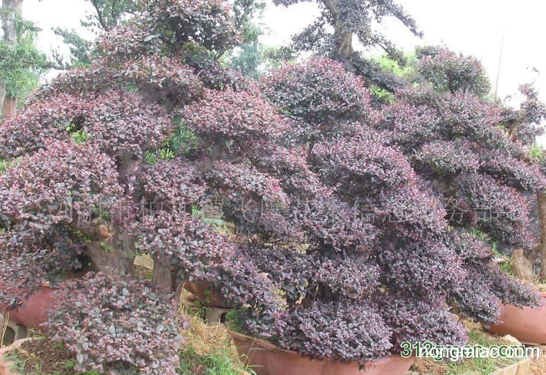 供应红花继,红继木桩,红花继木盆景|红继木图片及价格