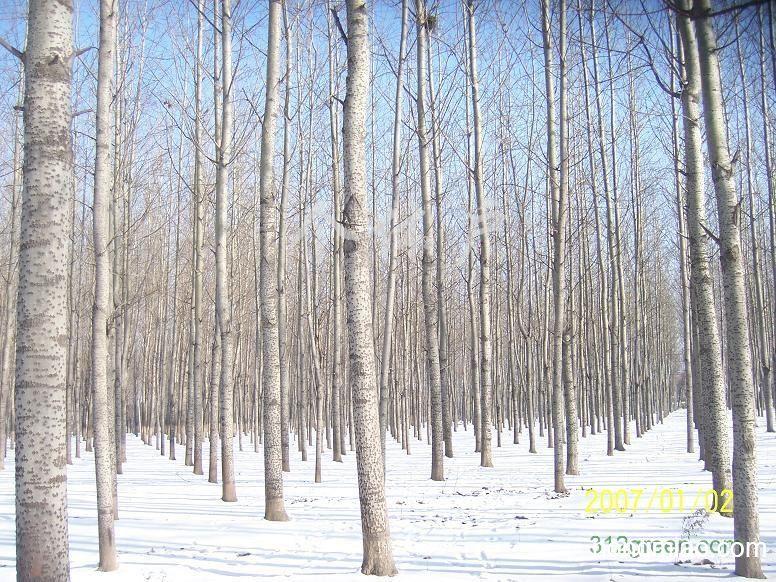 求购白杨树|其他图片及价格-汪海(个体经营)