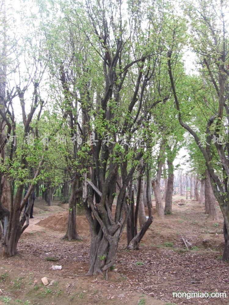 供应木瓜树|其它图片及价格-河南省桐柏县永发花木
