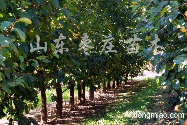 供应果树苗木
