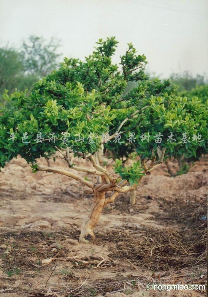 供应木本金银花苗树|樱桃图片及价格-平邑县沂蒙山