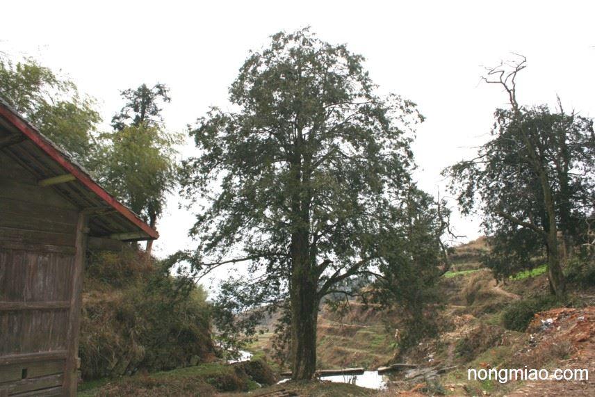 供应大型红豆杉