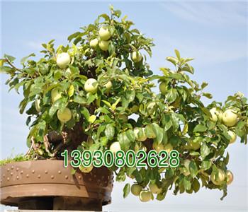 凯年果树,优质盆栽果树基地