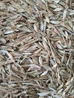 辽宁省糖槭种子/ 东北糖槭种子