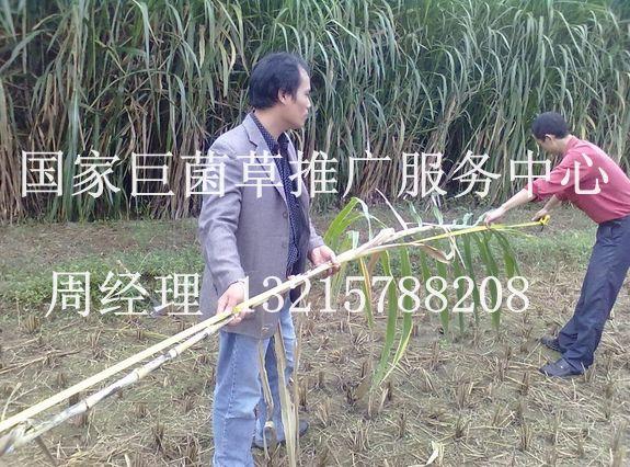 巨菌草多少钱一吨