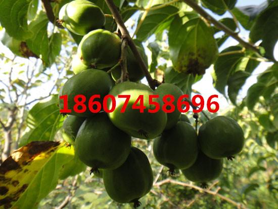 软枣猕猴桃苗,质量好、树苗适应能力强