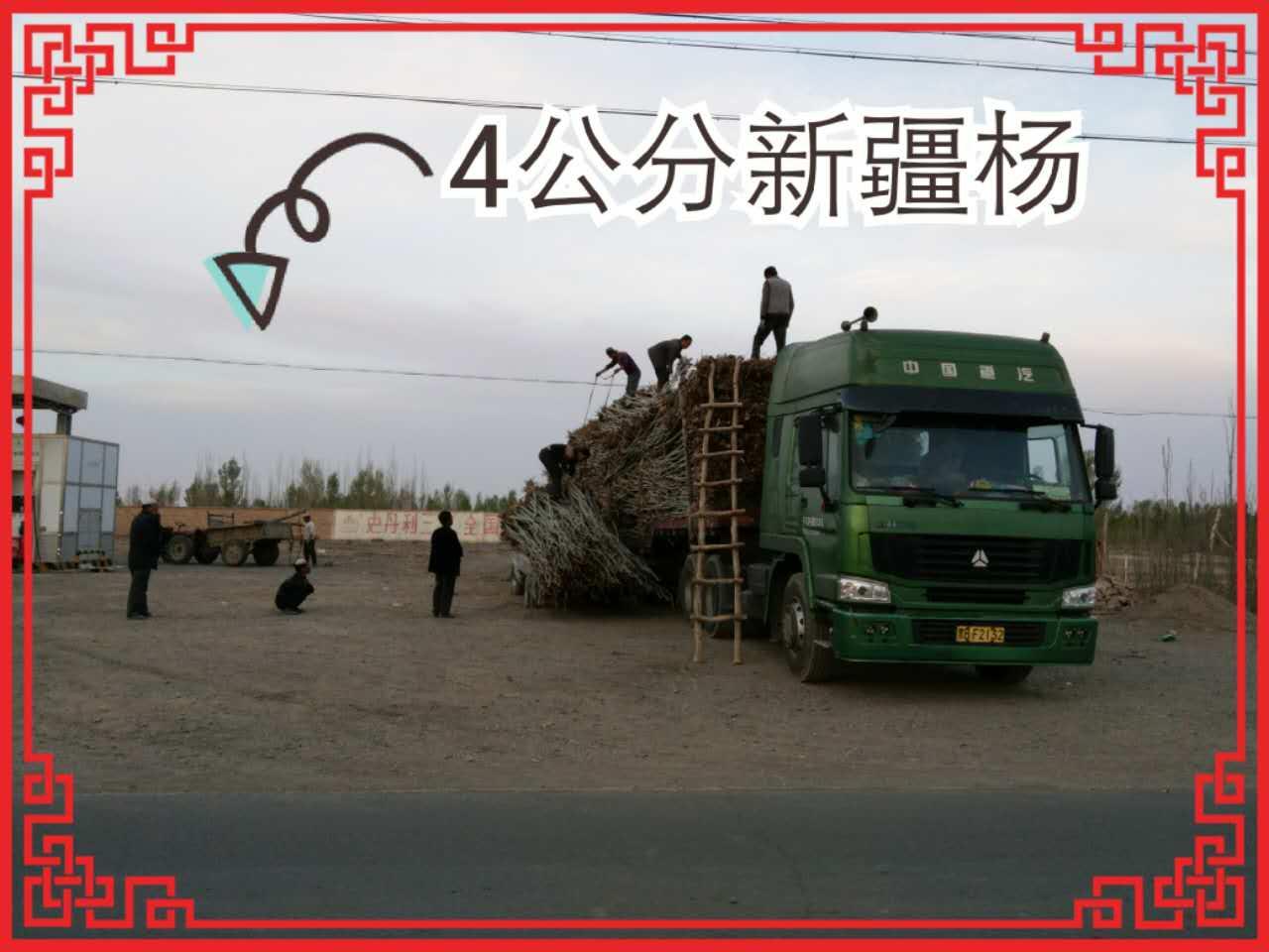 甘肃新疆杨苗木/河北新疆杨价格