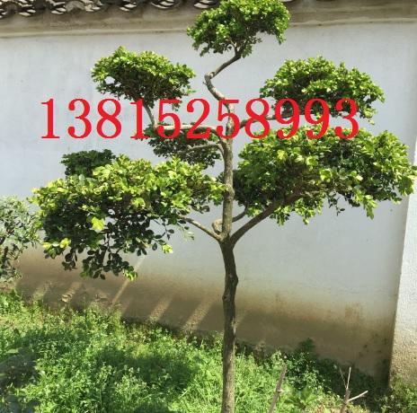 苏州造型黄杨树、小叶黄杨树、景观施工设计