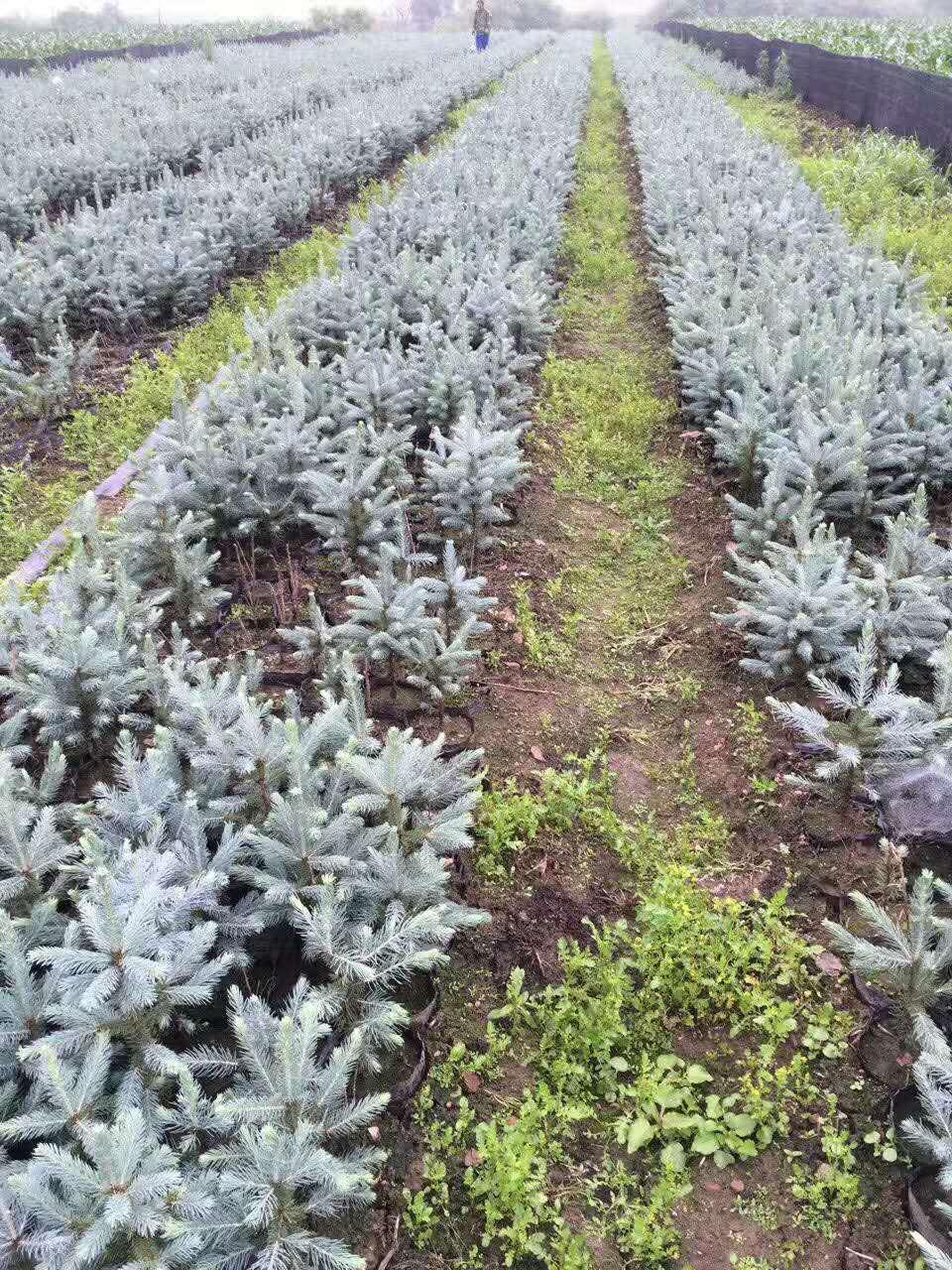 美国蓝杉树苗,科罗拉多蓝杉树苗,东北耐寒