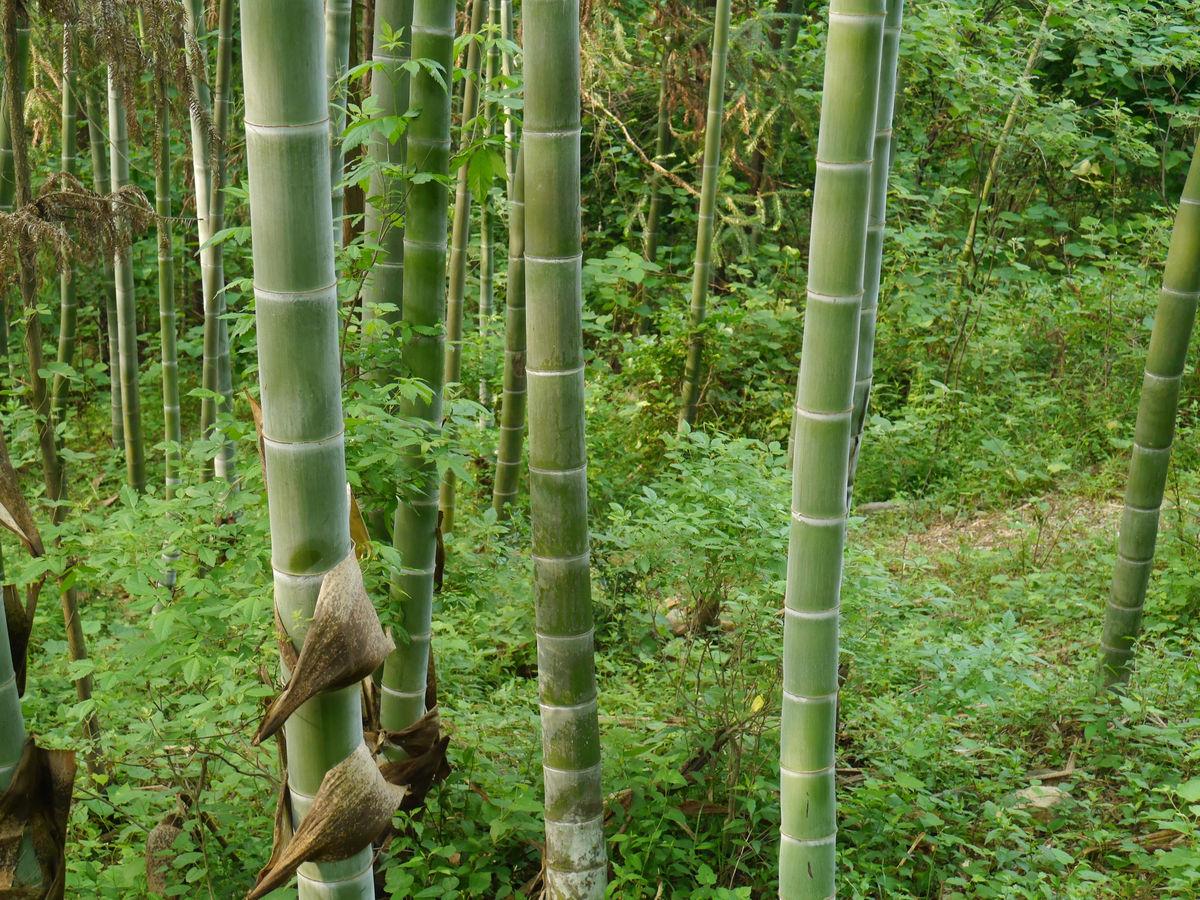 供应毛竹和用途 楠竹 与加工 麻竹苗 同技术