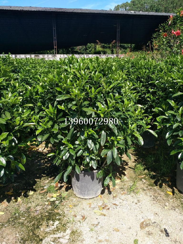海南非洲茉莉,海南非洲茉莉大型种植场
