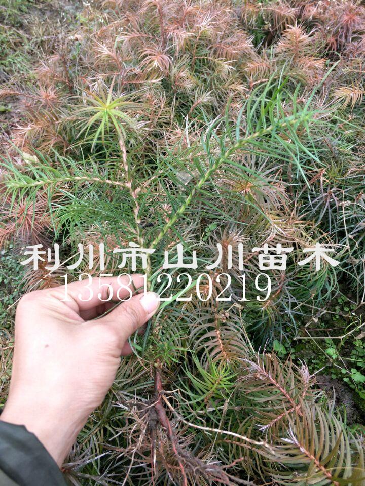 供应10-20cm杉木小苗、杉木小苗价格