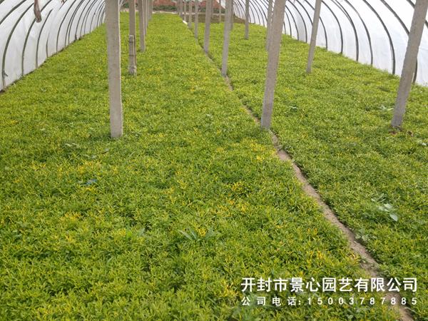 景心园艺五色草种植基地 立体花坛 植物绿雕