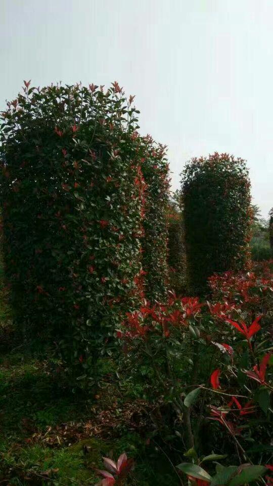 江西省哪里有石楠色块苗、石楠球、石楠柱子卖