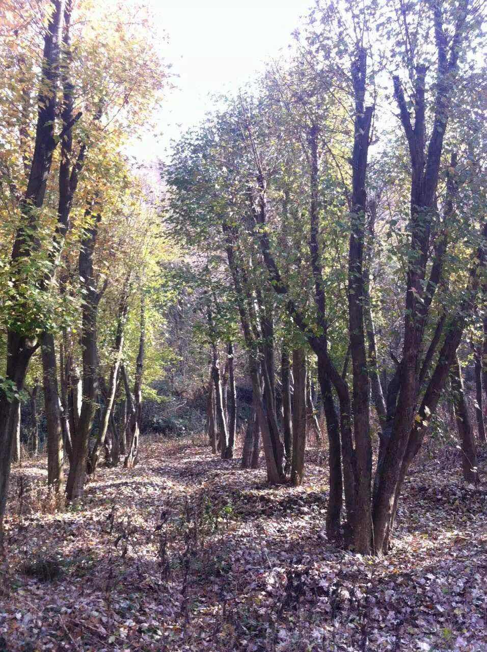丛生朴树,美国红枫,元宝枫,枫香,五角枫