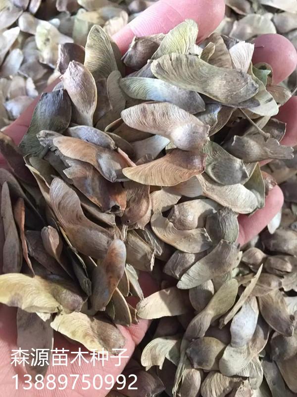 元宝枫种子多少钱一斤