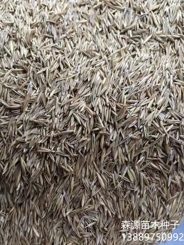 现在紫羊茅种子多少钱一斤