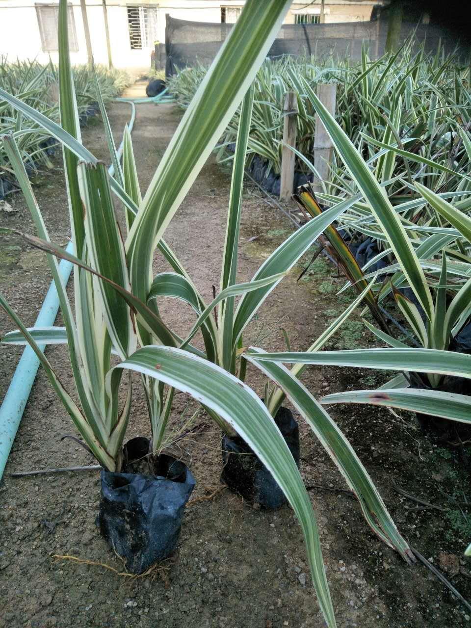绿化工程用苗山管兰批发价大量供应物美价廉