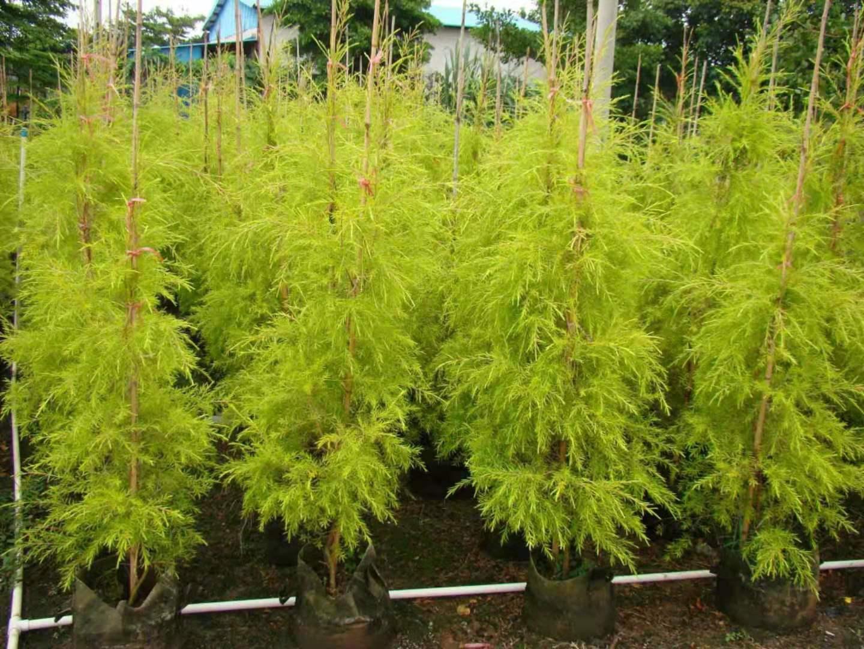 精品小区庭园绿化观叶植物千层金特价供应