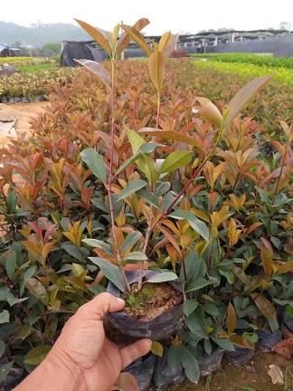 大量批发供应绿化工程用苗红叶石楠质优价廉