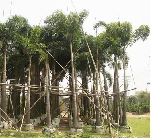 基地供应各种绿化苗木狐尾椰子 规格齐全