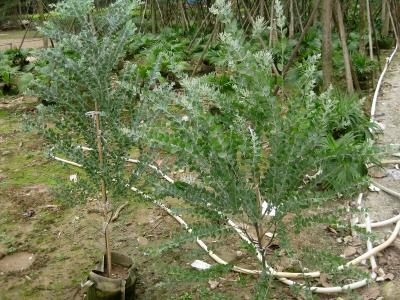 大量批发供应园林景观绿植金叶银合欢