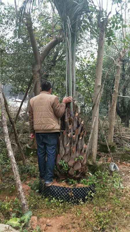 多规格批发供应造景大型树布迪椰子