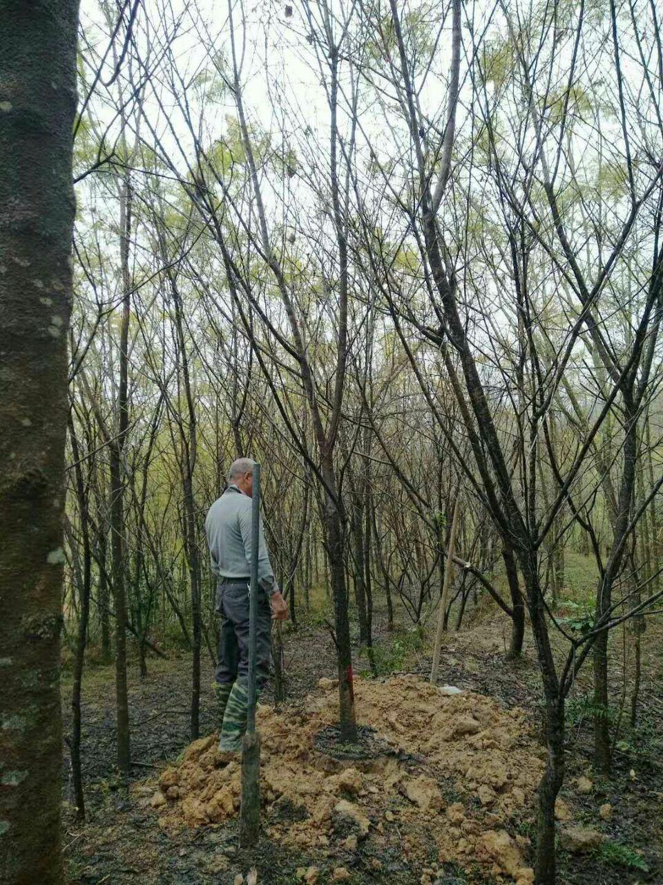 大量批发供应园林景观树福建山樱花