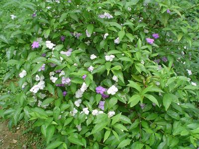 室内桌面盆栽观赏花卉鸳鸯茉莉批发供应