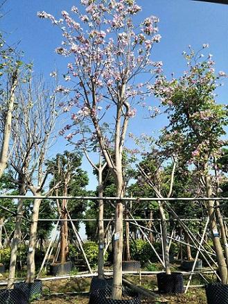 湖南特价供应树形美观风景树宫粉紫荆