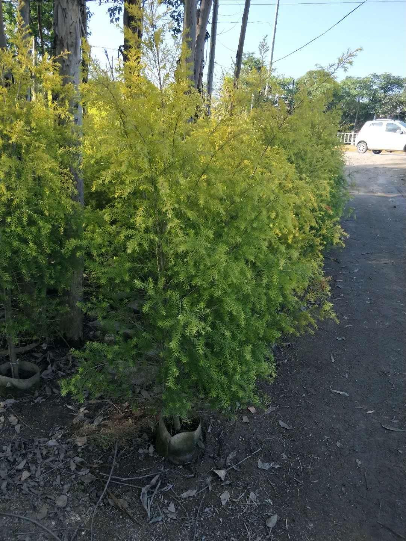 精品绿化行道树黄金宝树长期大量供应