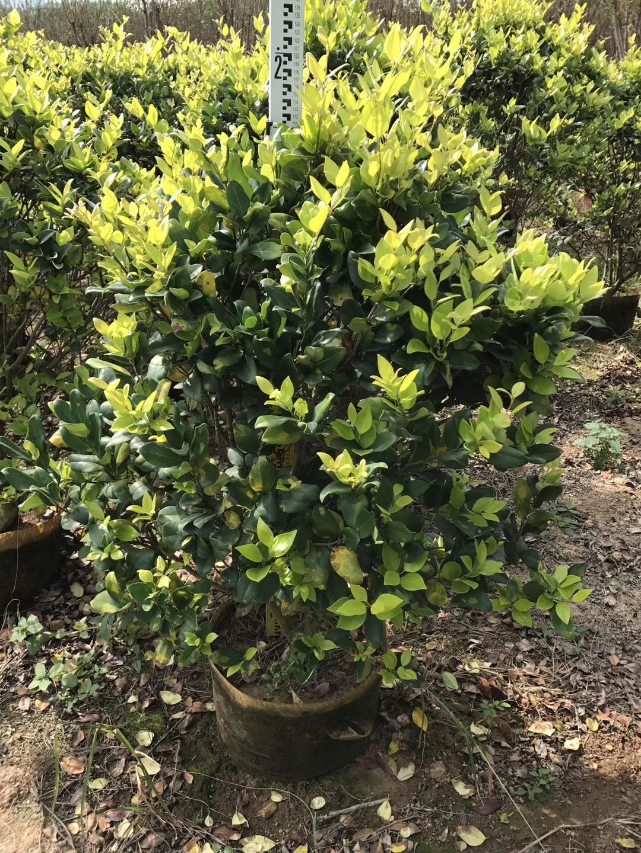 工程绿化地被灌木金森女贞常年大量供应