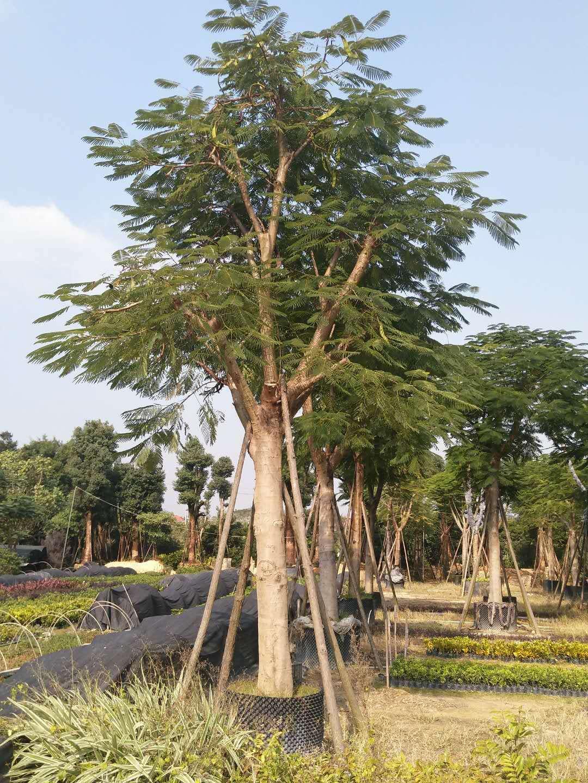 厂家直销优质庭园观花绿化树凤凰木
