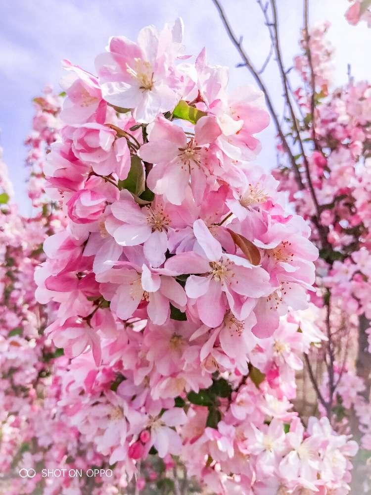 辽宁大连各类海棠西府海棠木瓜海棠樱花大量