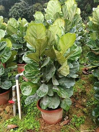 四季常青庭园室内盆栽绿植琴叶榕大量供应