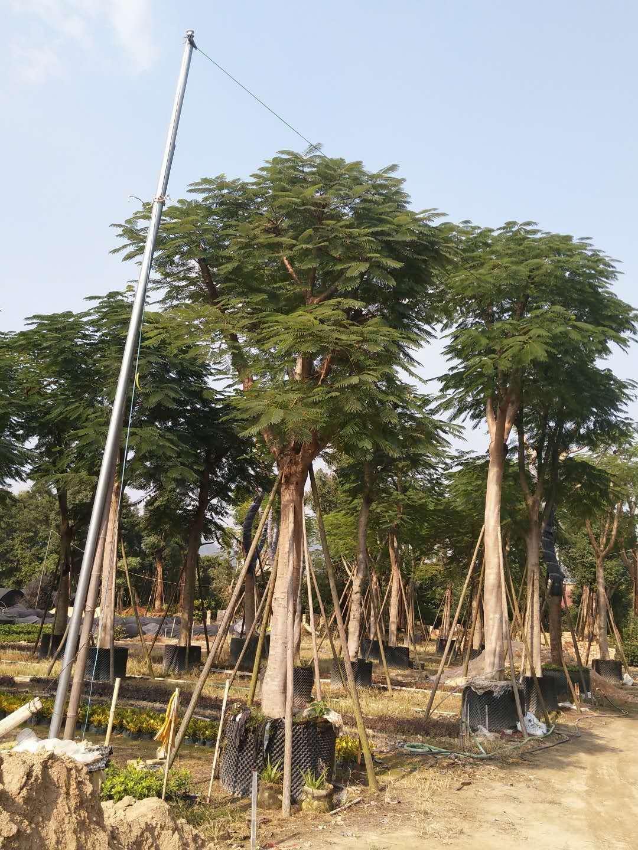 大量批发供应园林景观工程树凤凰木规格齐全