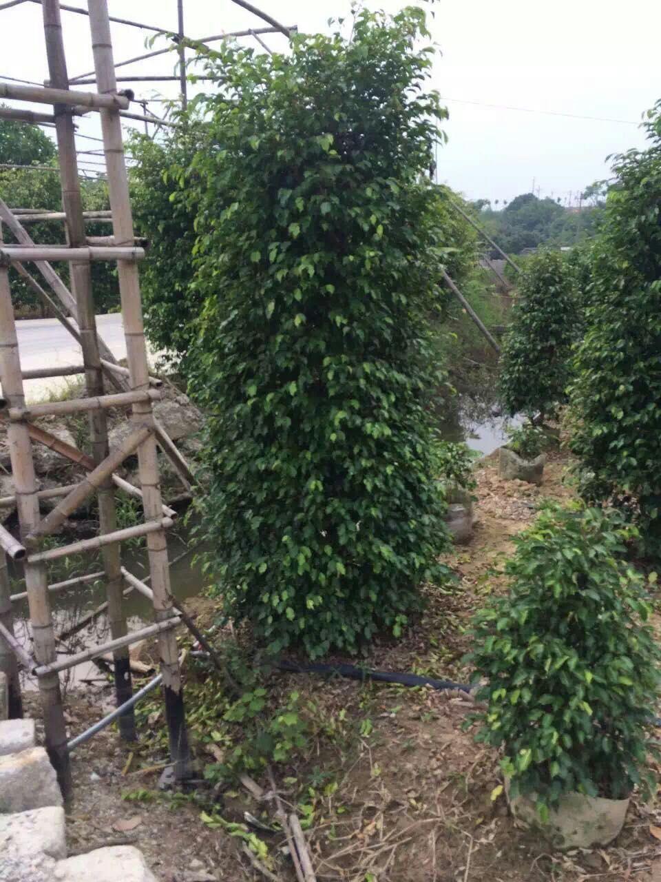 厂家供应四季常青室内观赏性植物垂叶榕