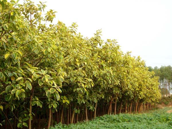 基地直销多规格绿化工程苗木丛生富贵榕