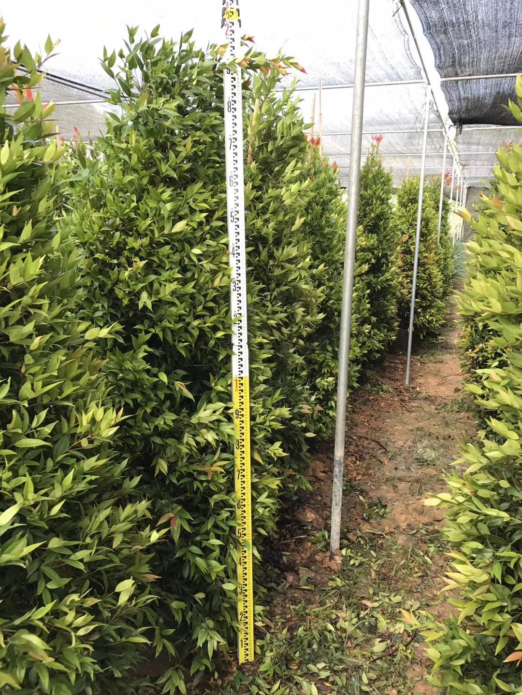中山产地批发优质造型绿化树红车柱型