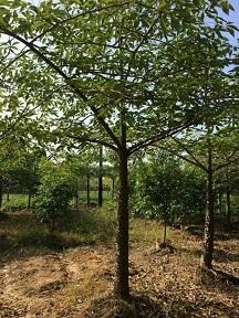 山东苗木种植基地供应树形美观树木棉