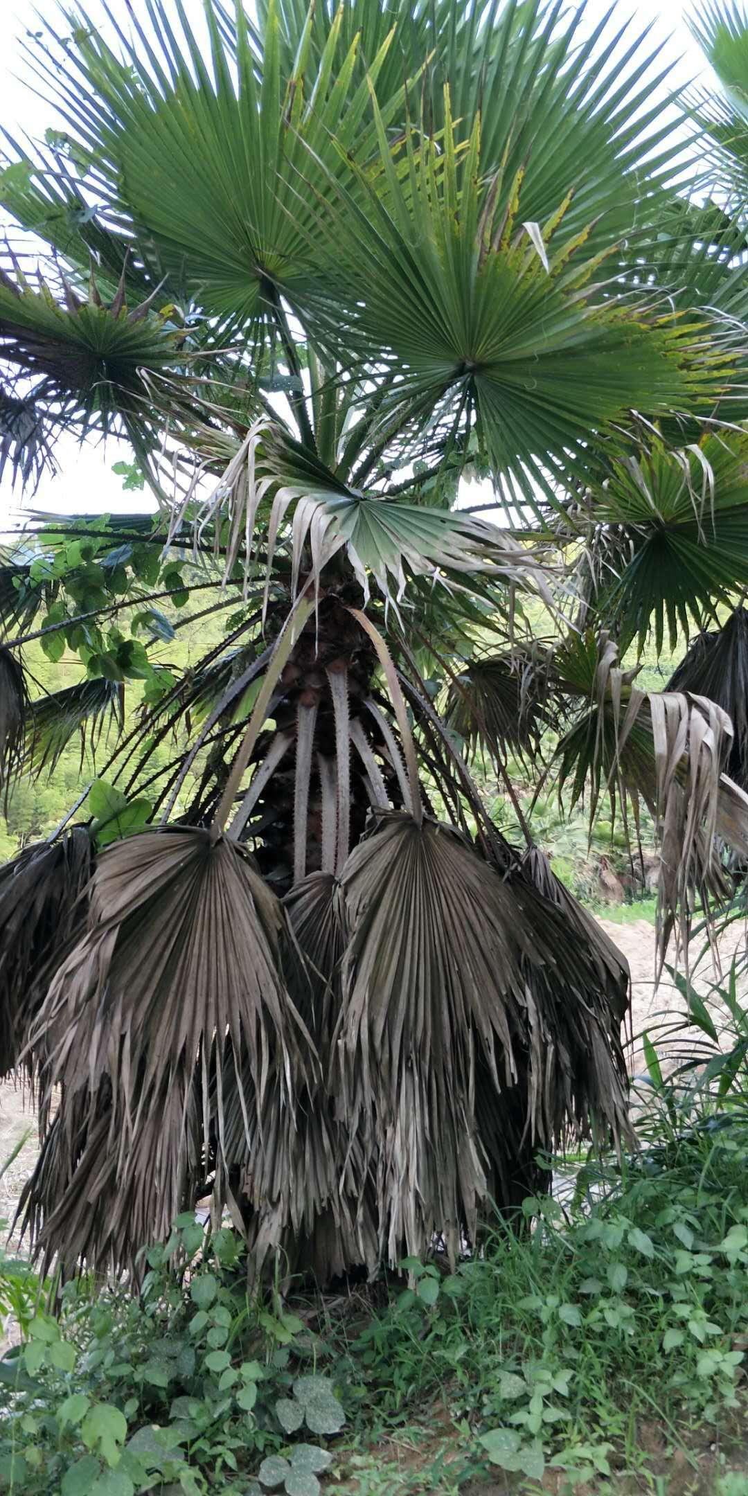 批量供应园林绿化风景树老人葵 量大从优