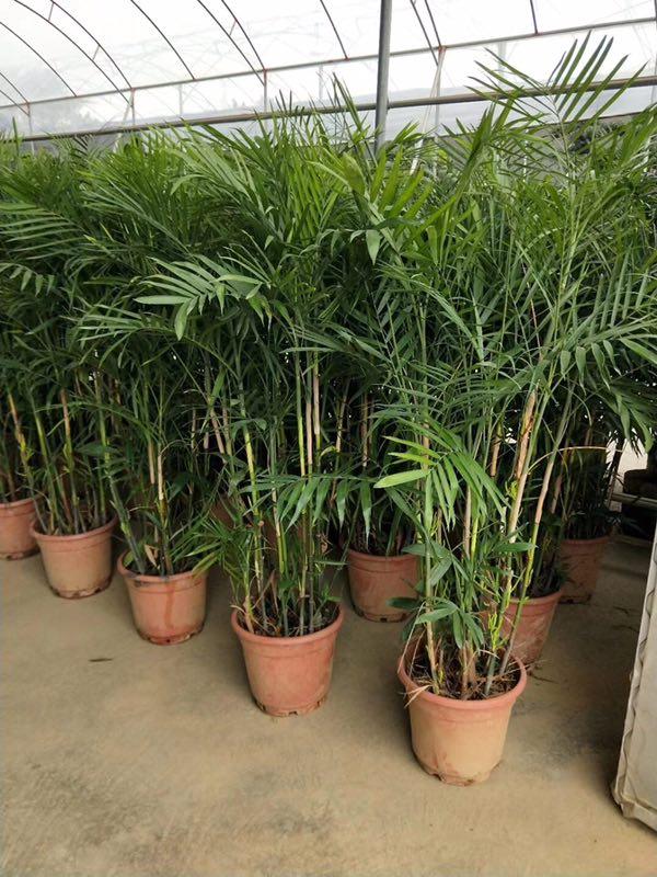 高度规格齐全散尾葵常年批发价大量供应