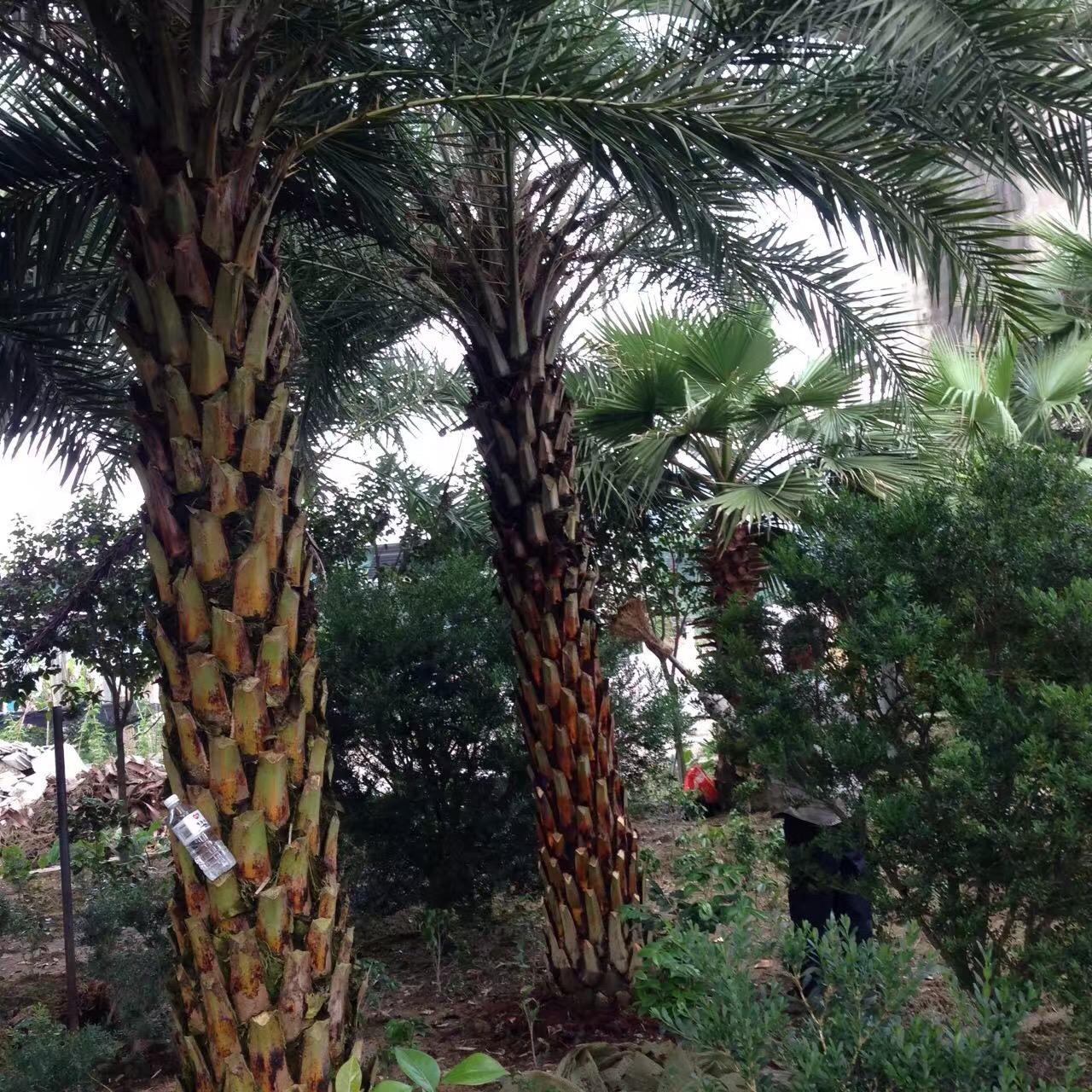 农户直销大型景观造型树中东海枣质量可靠